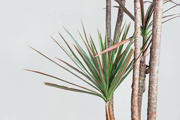 Dracaena marginata Pflanze mit weißer Wand – Foto