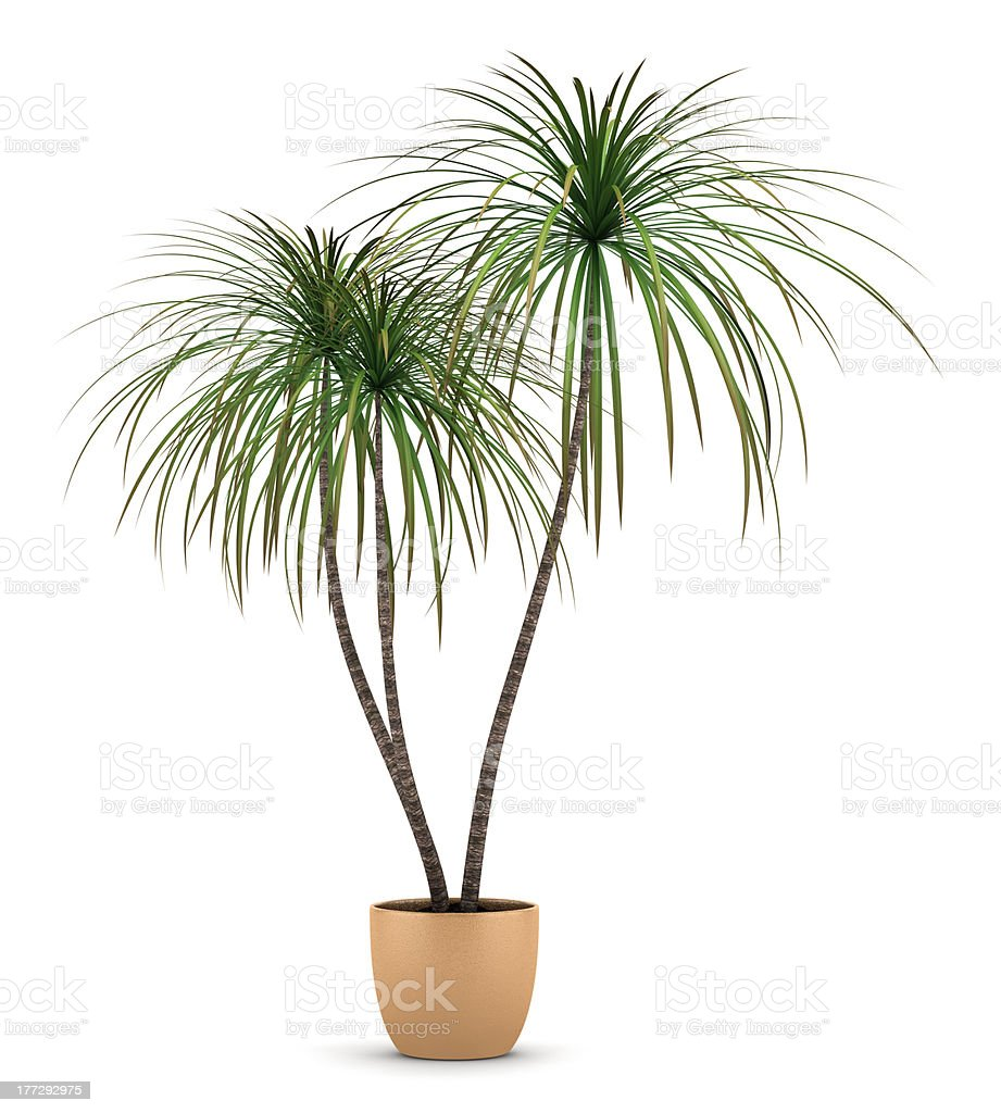 dracaena plant in pot isolated on white background royalty-free stock photo