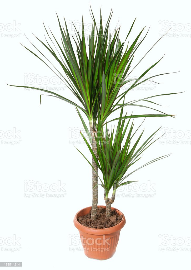 Dracaena plant in potted soil against white background stock photo