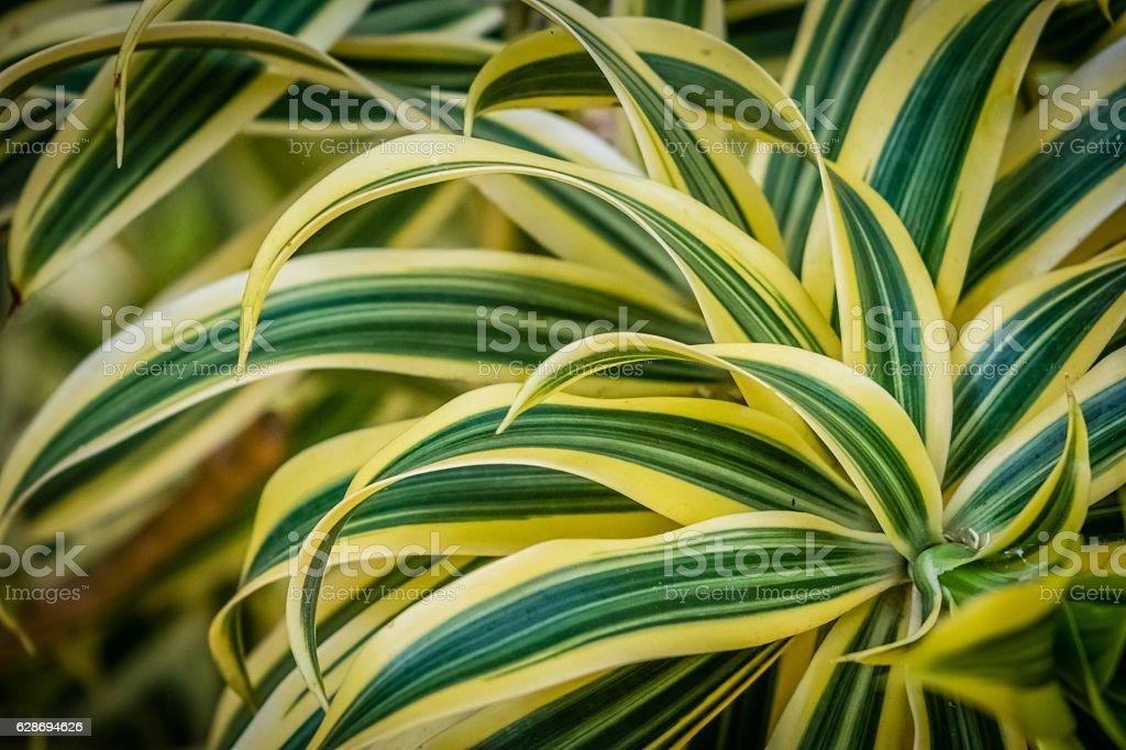 Draceanea Fragrans plant