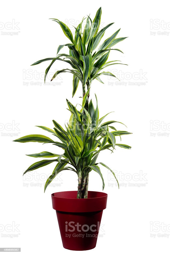 Dracena Lemon isolated stock photo
