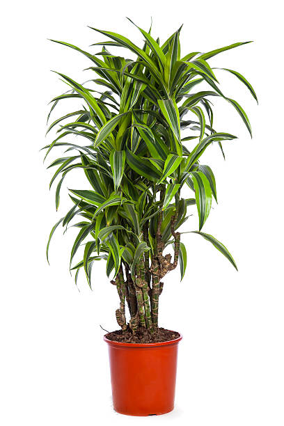 Dracena Lemon-Lime stock photo