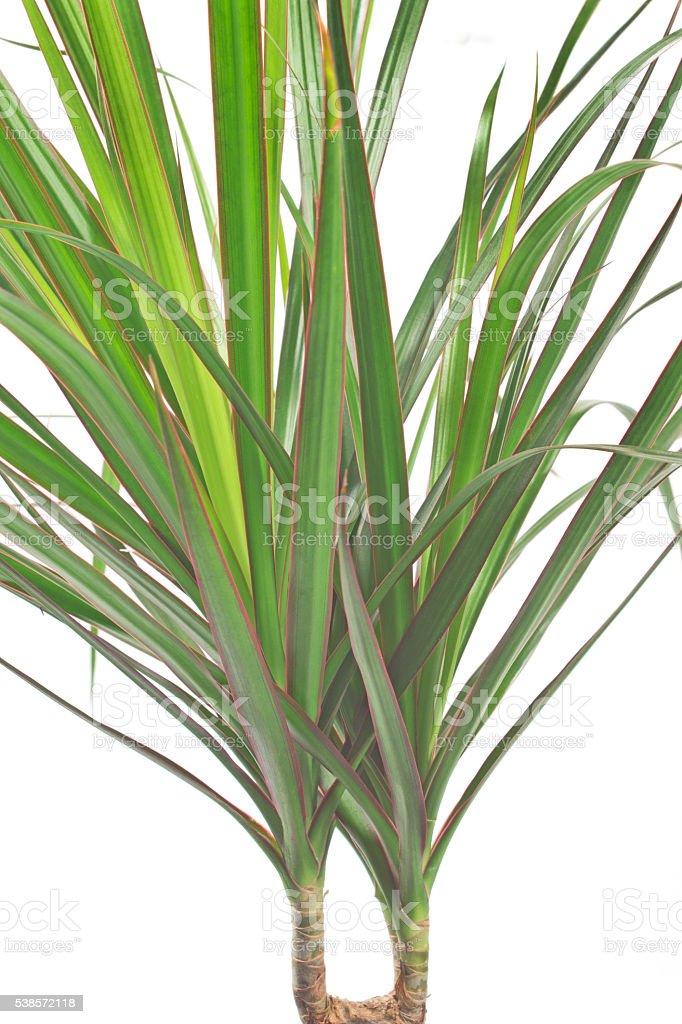 Dracena marginata plant over white stock photo