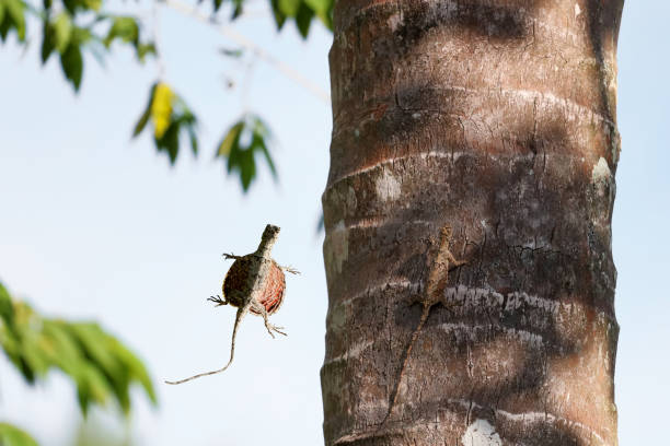 Draco lizards flying or gliding in rainforests in Thailand Draco lizards flying or gliding in rainforests in Thailand with green nature background. indochina stock pictures, royalty-free photos & images