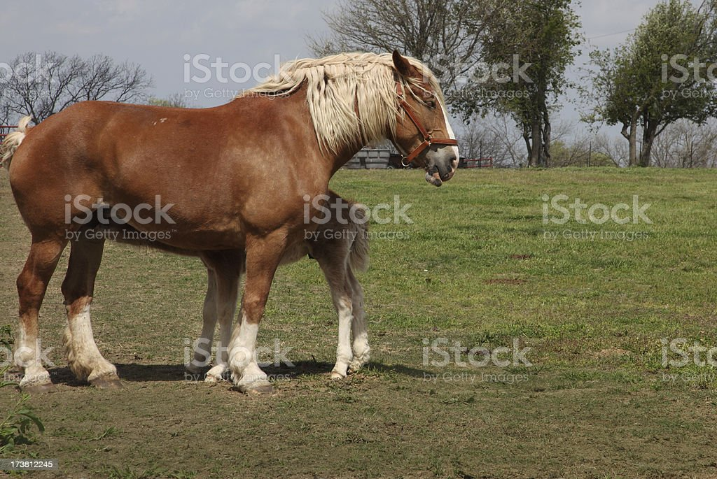 draft horse and colt  XL stock photo