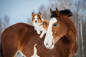 istock Draft horse and red border collie dog 534043382
