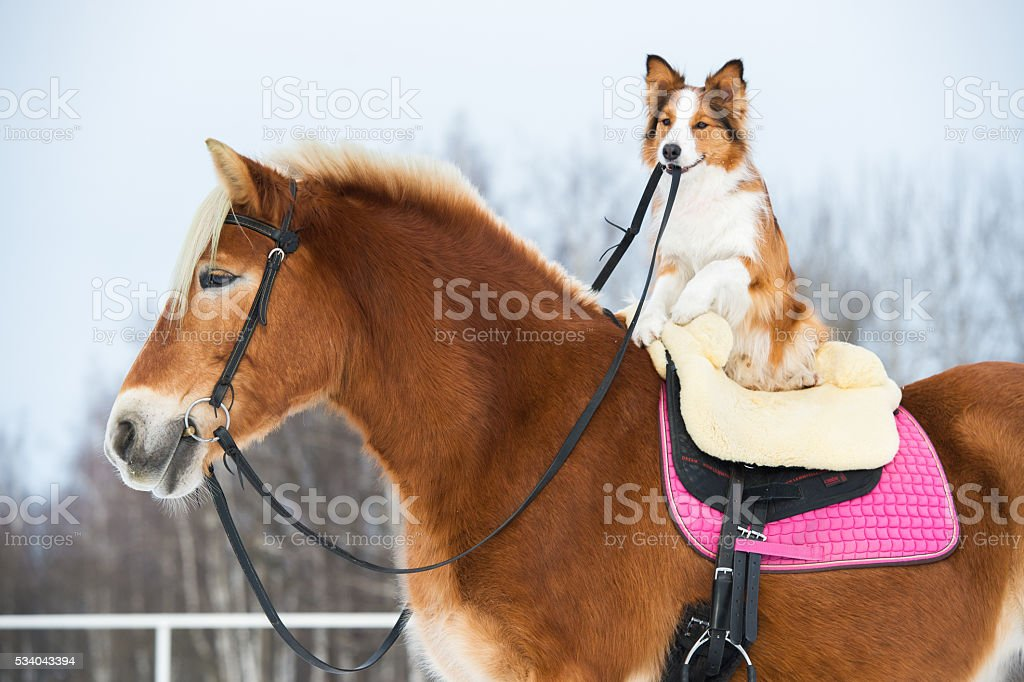Draft horse and red border collie dog stock photo