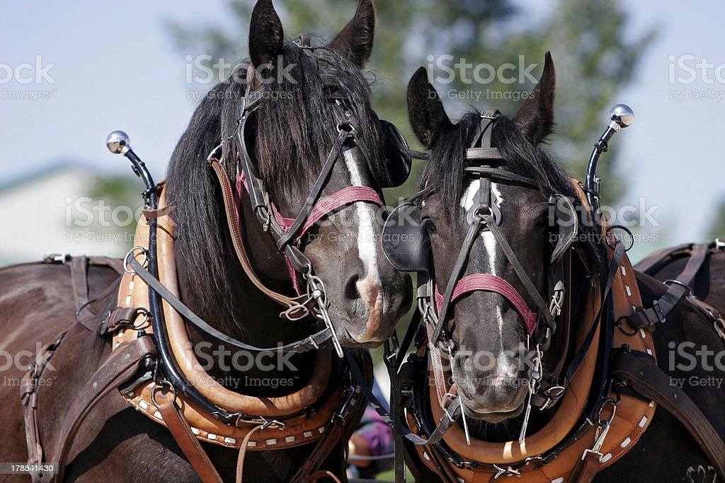 Draft Horse Buddies (Percheron Mix) stock photo
