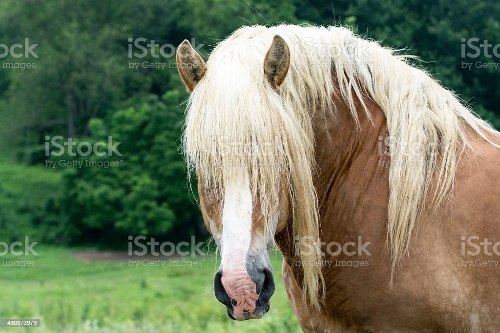Draft Horse Head Stock Photo Download Image Now Istock