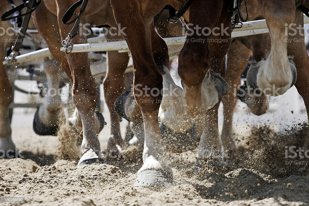 Draft Horse Hooves in Action stock photo