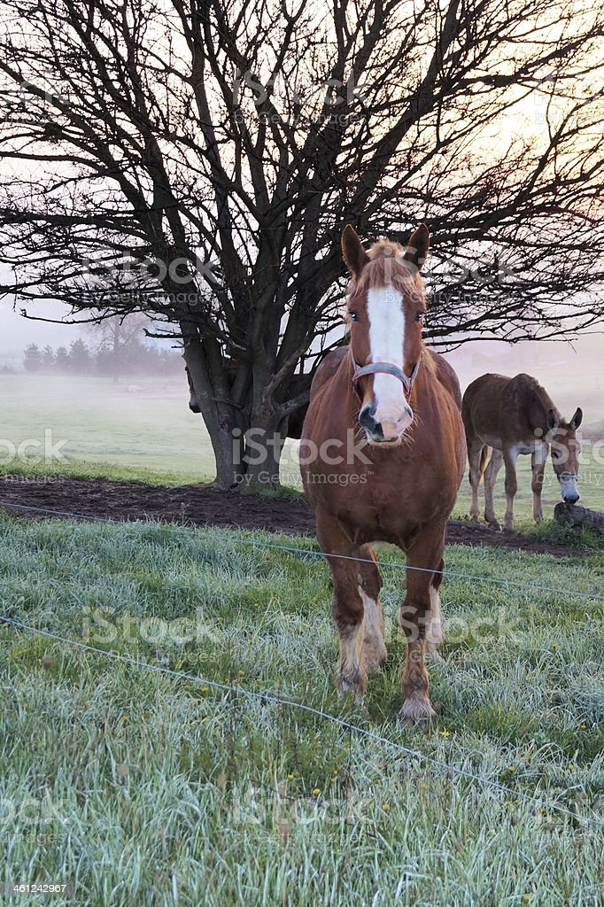 Draft horse in morning fog stock photo