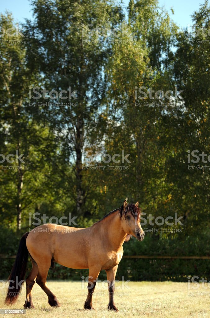 Draft horse on the meadow in evening down stock photo