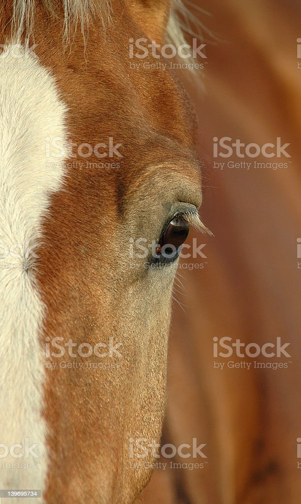 Draft Horse royalty-free stock photo