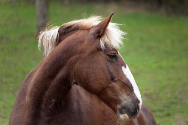 Draft Horse portrait of a south german draft horse stock photo