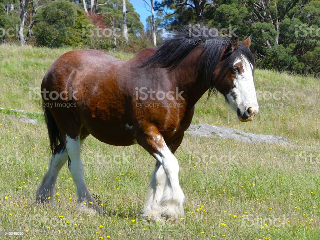 draft horse walking stock photo