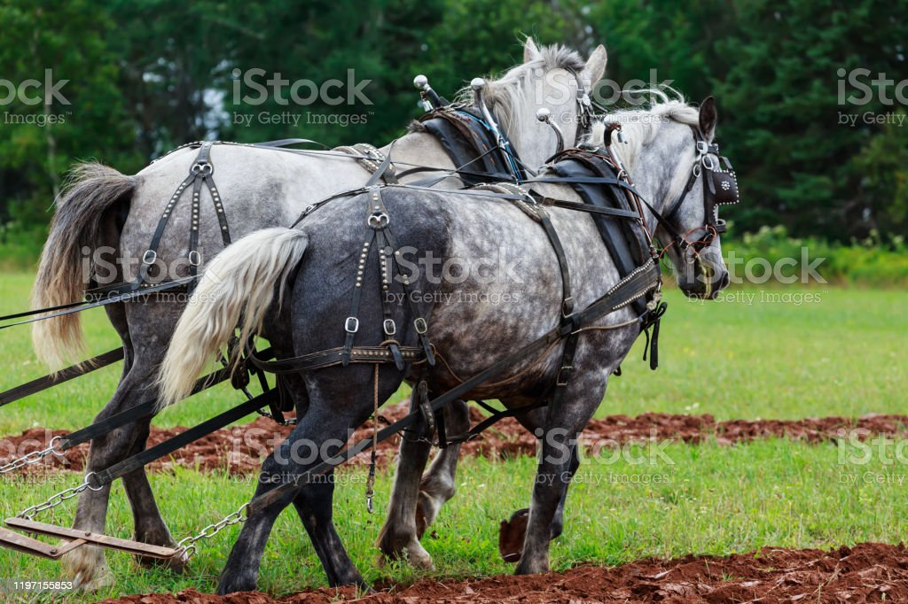 Draft Horses Stock Photo Download Image Now Istock