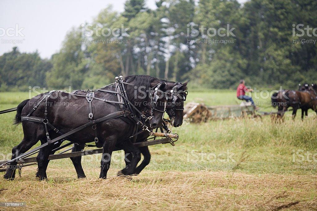 Draft Horses stock photo
