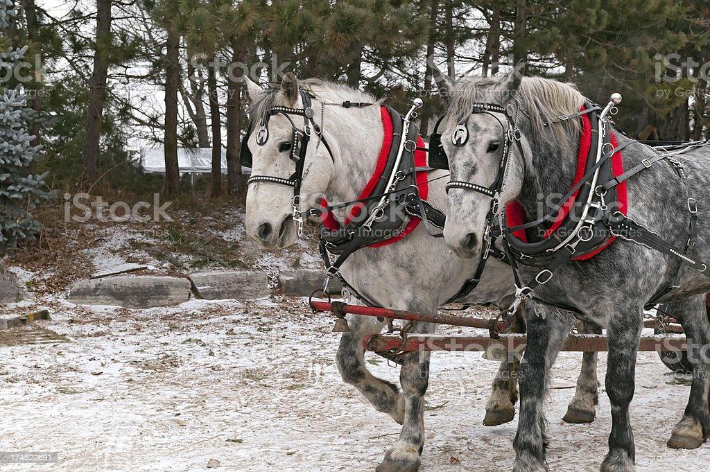 Draft Horses royalty-free stock photo