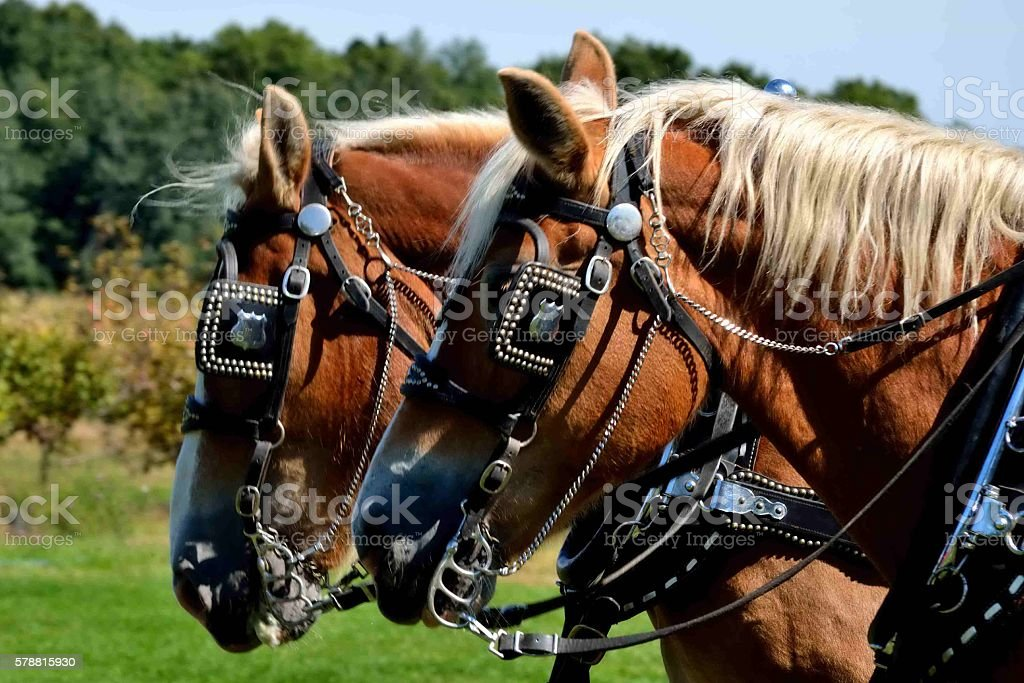 Draft Horses stock photo