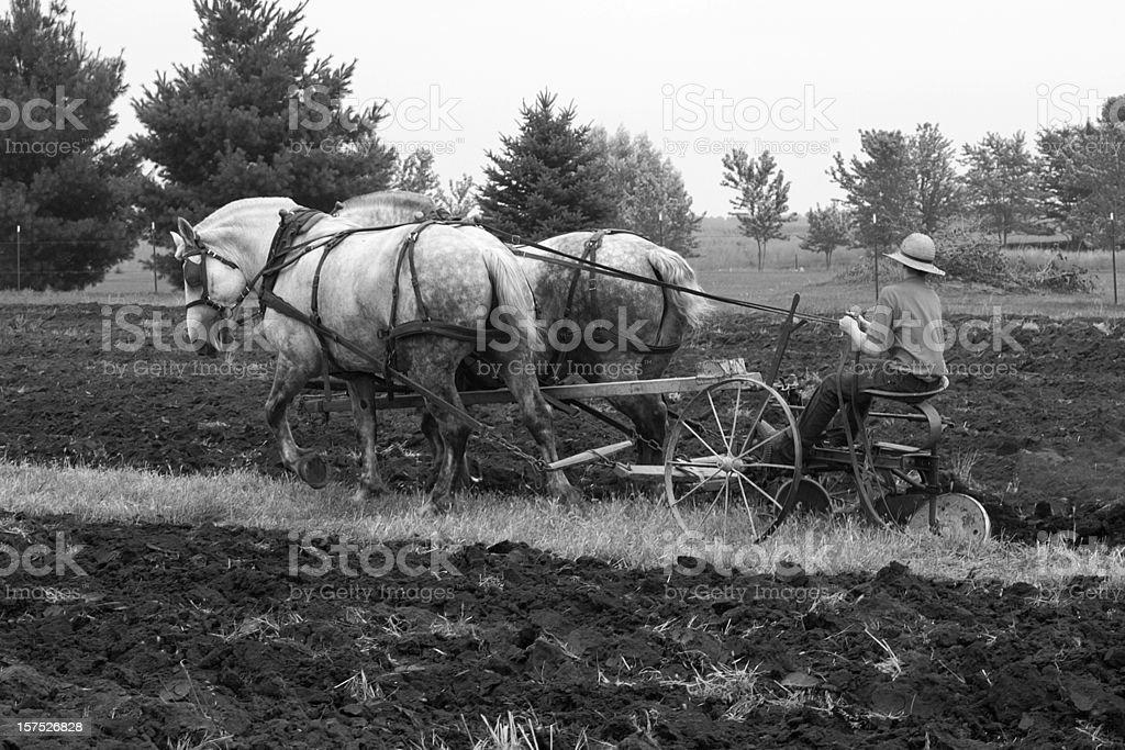 draft horses plowing stock photo
