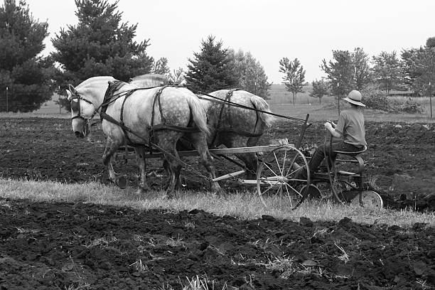 draft horses plowing This is a black and white photo of two very large, light colored, draft horses that are pulling a plow through a field. The person plowing has on a hat, short sleeved shirt and long pants. There are several large trees in the back ground. working animal stock pictures, royalty-free photos & images