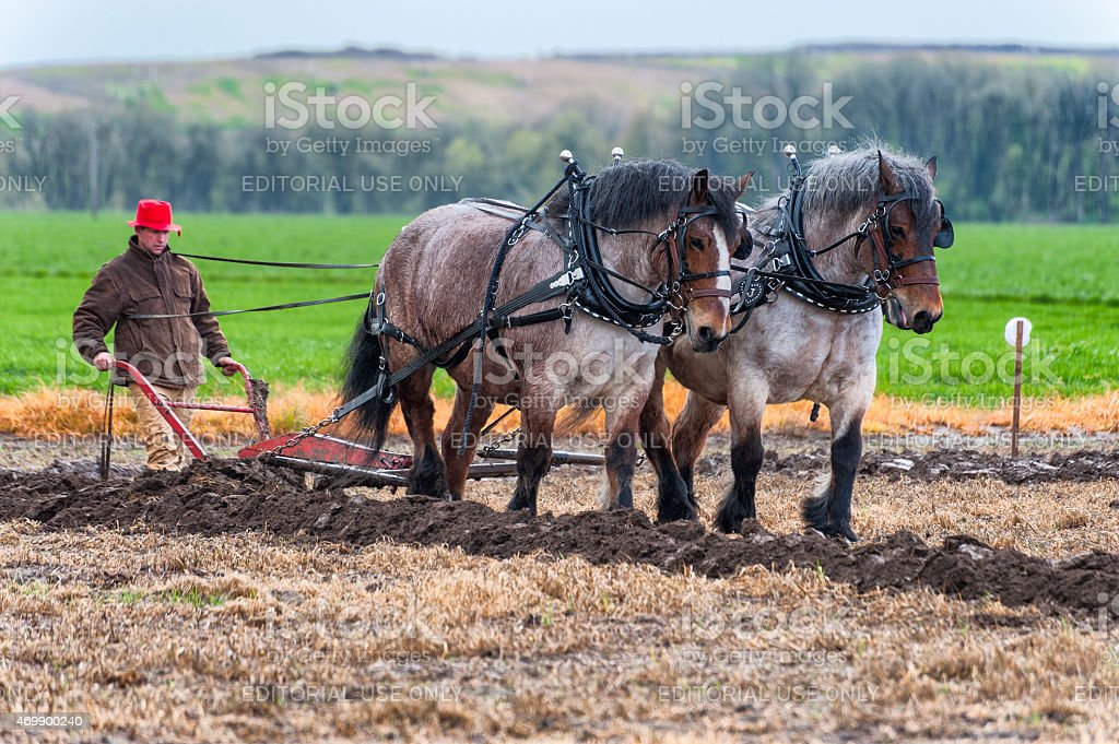 Draft Horses pull a plow guided by a man stock photo
