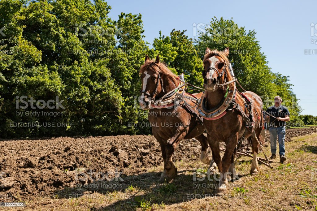 Draft horses pulling the plow stock photo