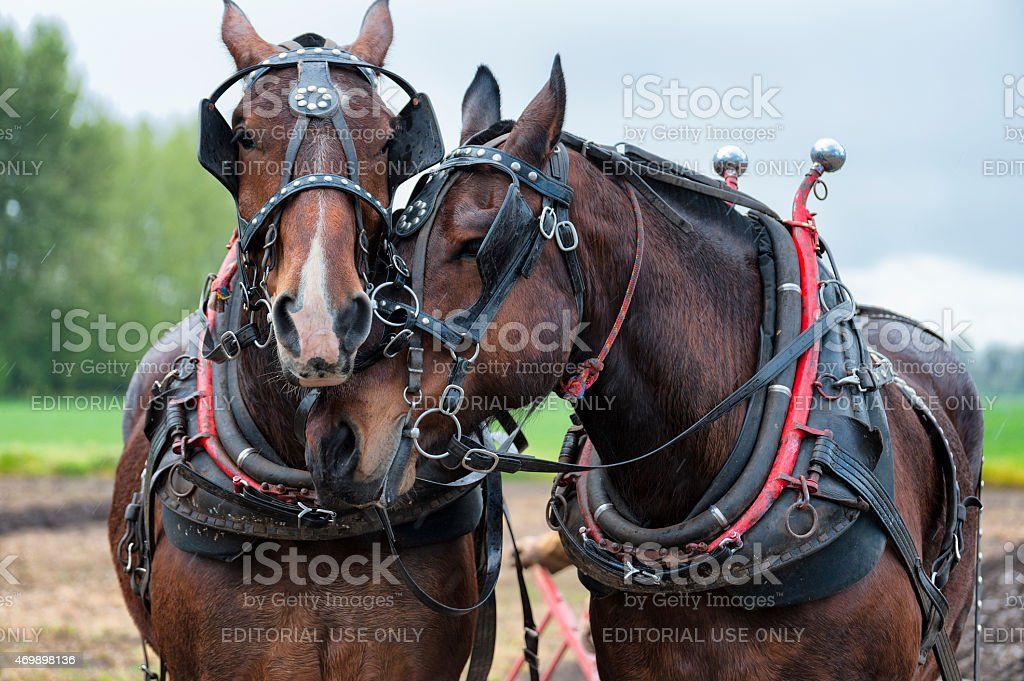 Draft horses wearing thier work yoke and harneses stock photo