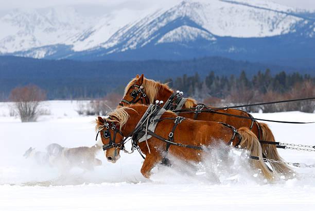 Draft Horses Working Hard Together stock photo