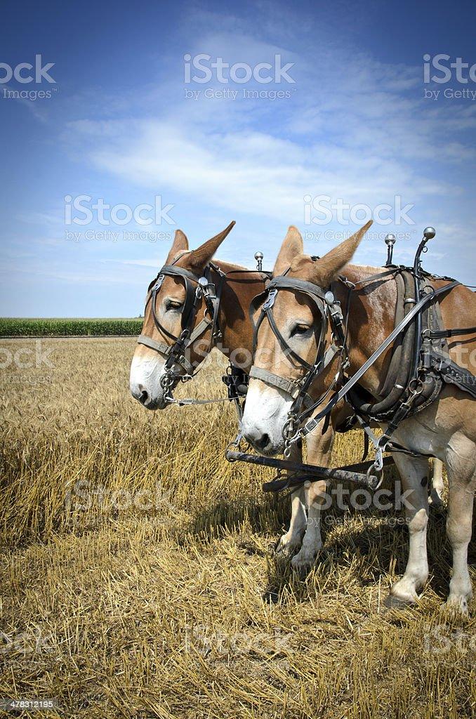 Draft Mules royalty-free stock photo