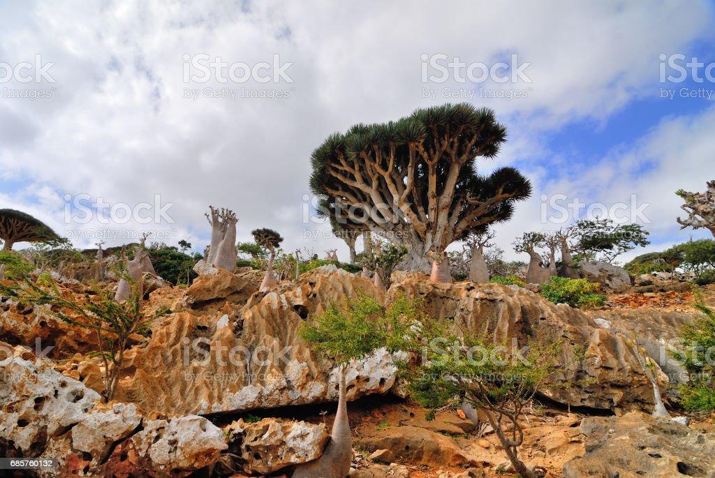 Dragon Blood Tree and bottle trees on Socotra, Yemen stock photo