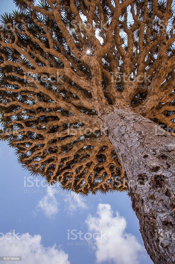 dragon blood tree, dracaena cinnabari stock photo