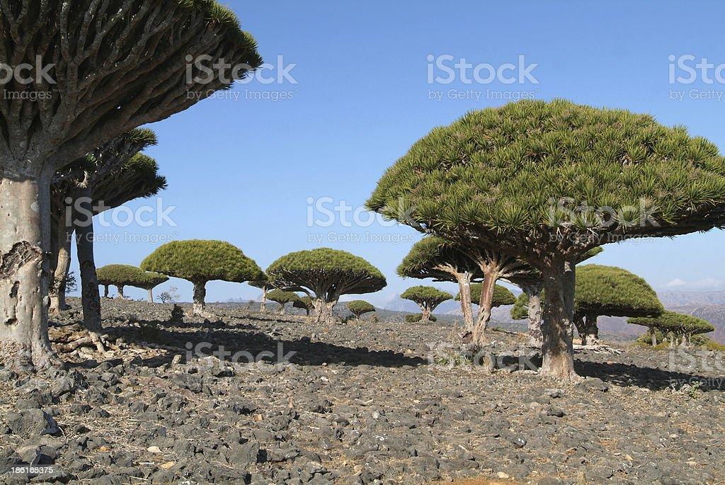 Dragon Blood Tree of Socotra island stock photo