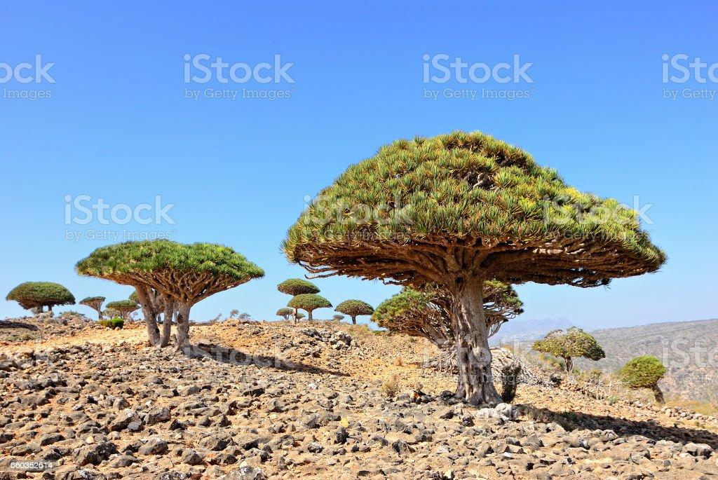 Dragon Blood Tree stock photo