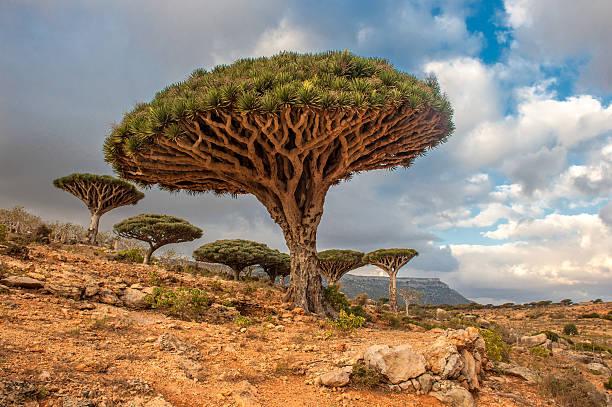 Dragon blood trees at Dixam Plateau on Socotra Island, Yemen stock photo