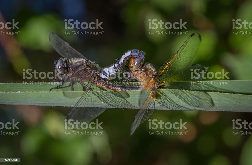 Dragon flies mating in the sun stock photo