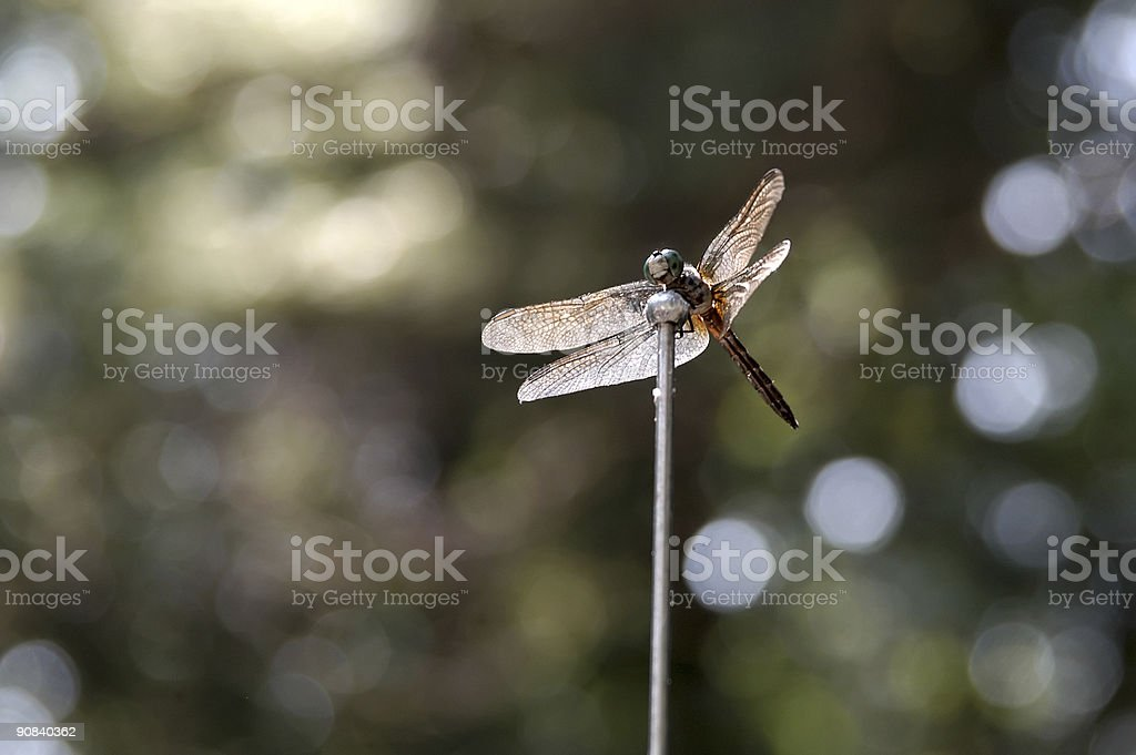 Dragon Fly Hanging Out stock photo
