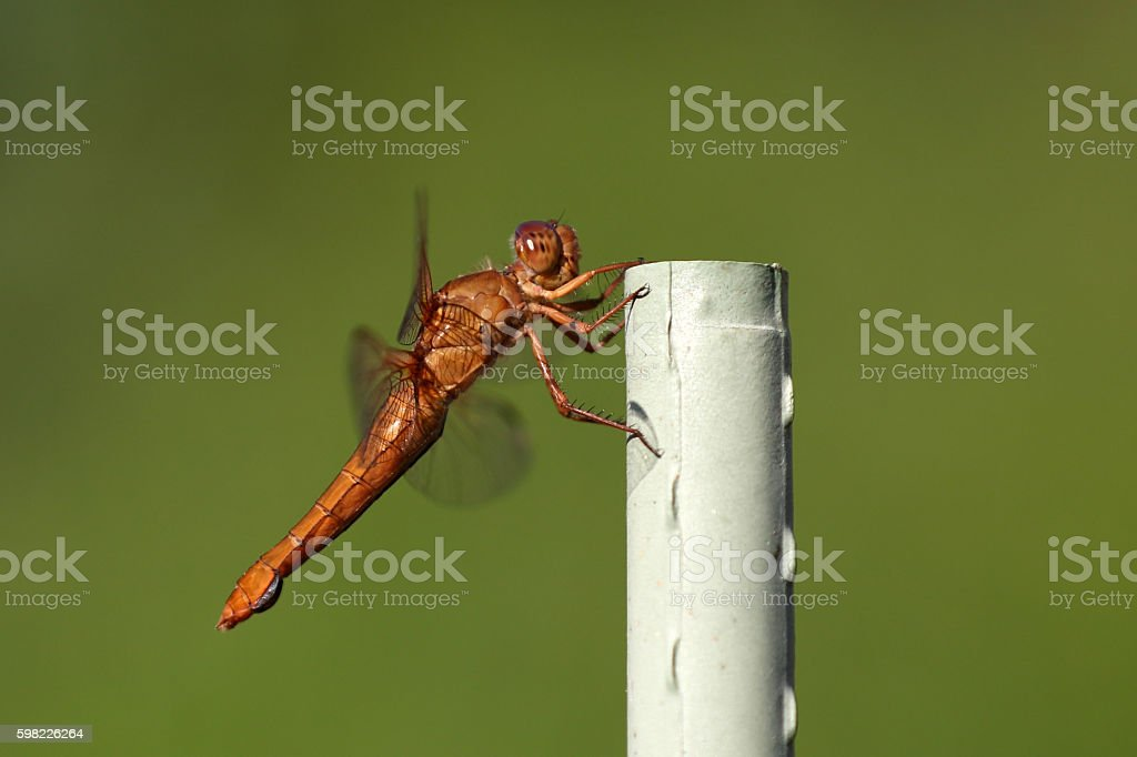 Dragon fly insect outdoors up-close foto royalty-free