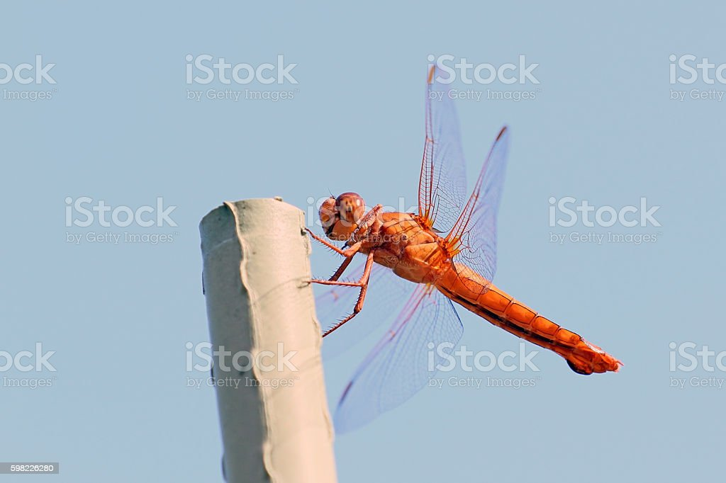 Dragon fly insect up-close foto royalty-free