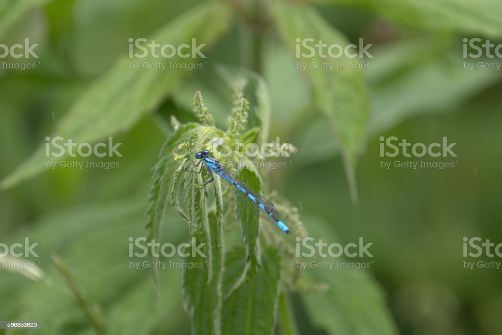 Dragon Fly on Lake Nettle royalty-free stock photo