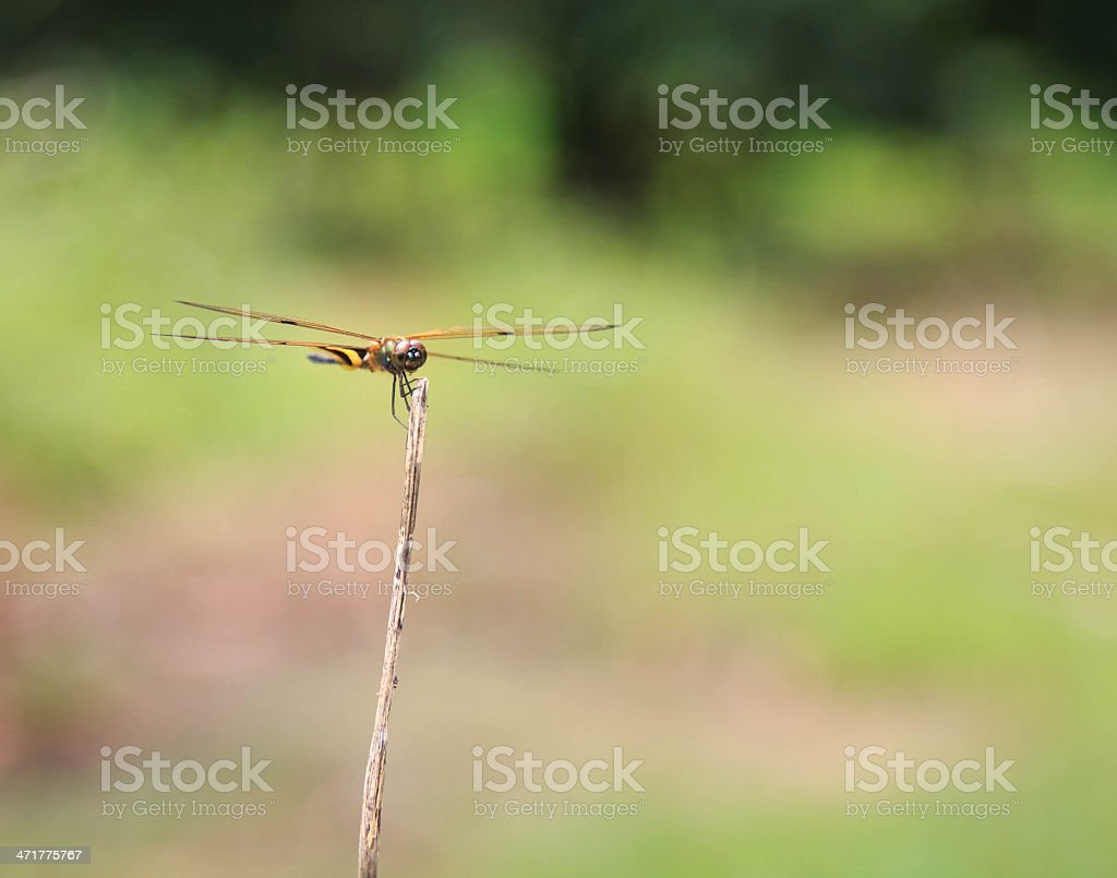 Dragon Fly on stem in forest royalty-free stock photo