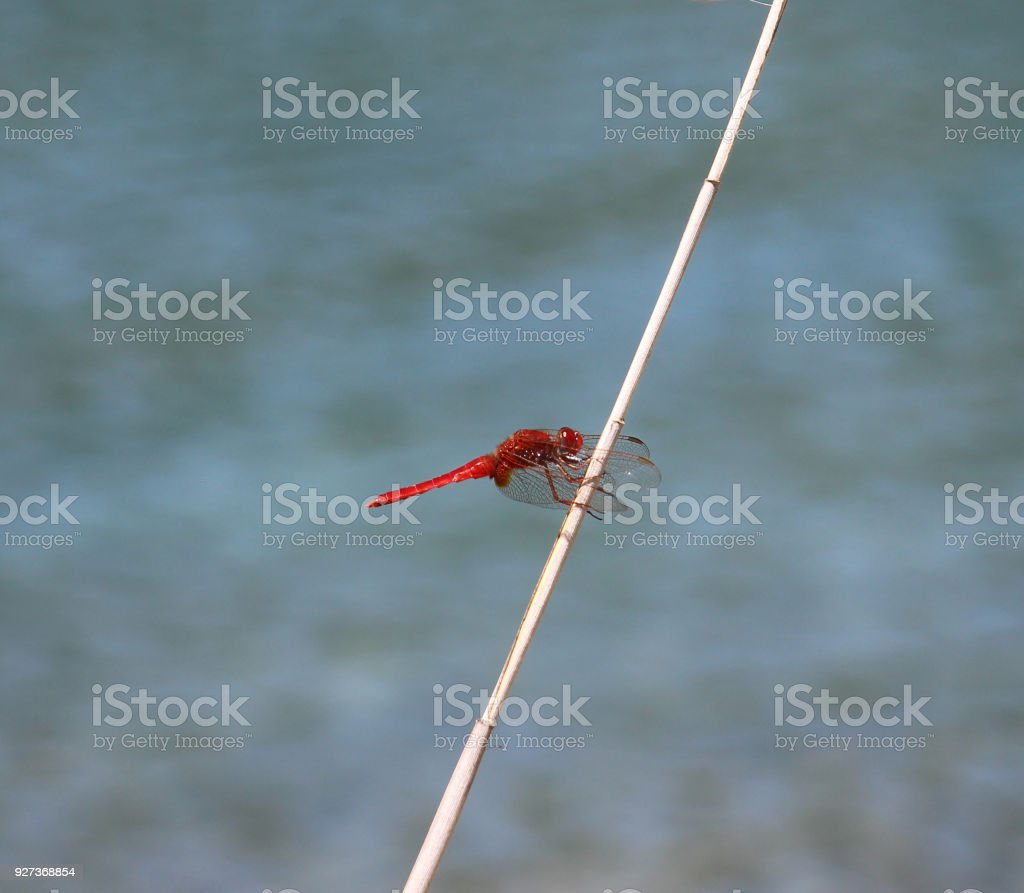 Dragon Fly - Royalty-free Animal Stock Photo