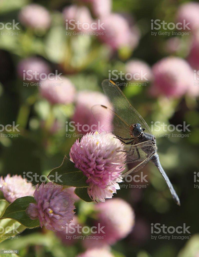 dragon fly royalty-free stock photo