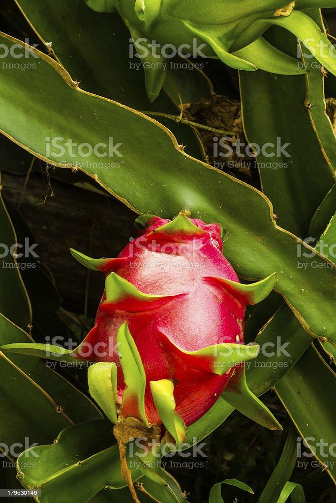 Dragon fruit royalty-free stock photo