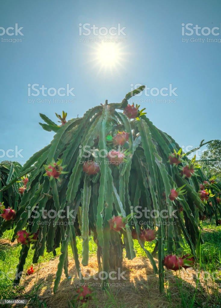 Drachenbaum Frucht mit reifer roter Frucht am Baum für die Ernte. – Foto