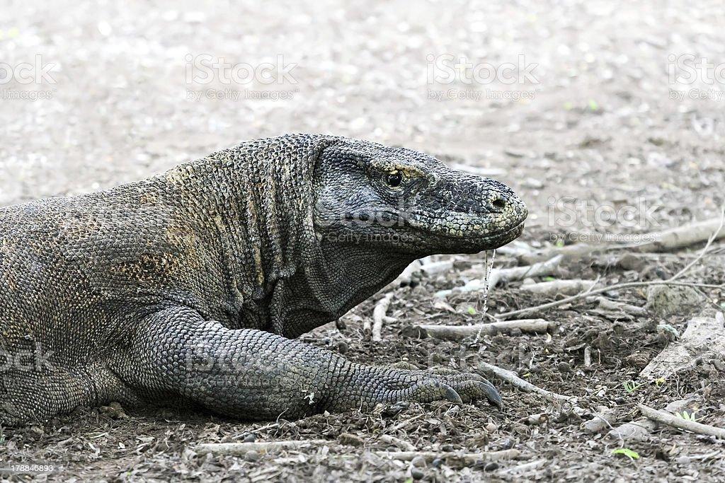Dragon lizard (monitor lizard), Komodo Island - Indonesia royalty-free stock photo