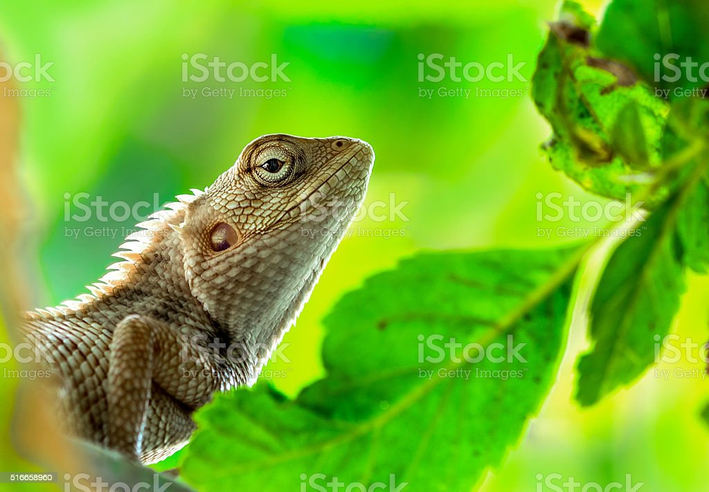 Dragon Lizard stock photo