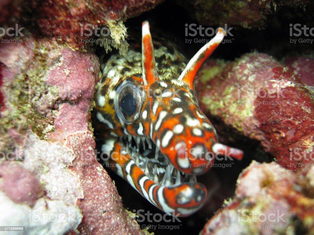 Dragon Moray Eel royalty-free stock photo