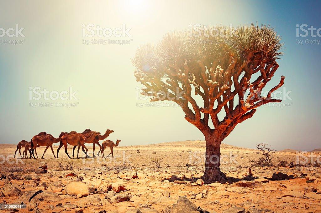 Dragon tree and camels at Salalah in Oman stock photo
