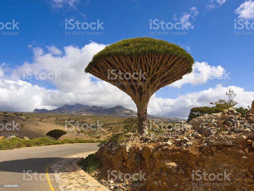 Dragon tree and sky stock photo